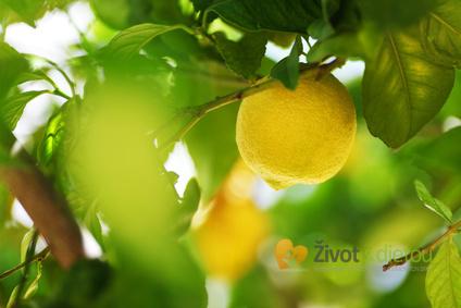 Citronovník
